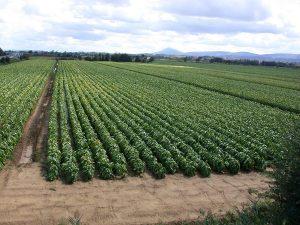 Champ-Virginie-semences-tabac-bergerac-seed-breeding-2