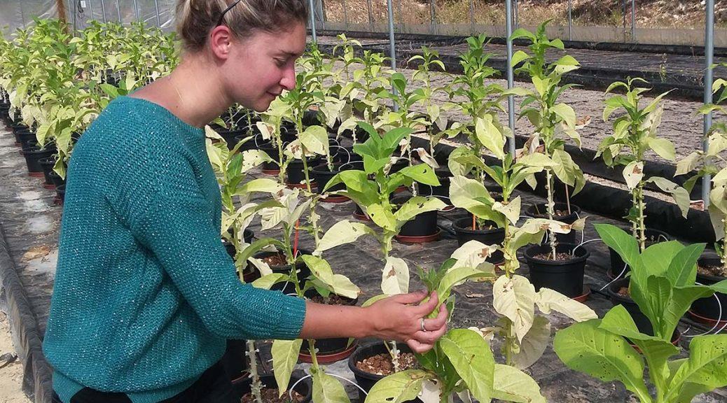anna-malpica-semences-tabac-bergerac-seed-breeding-2